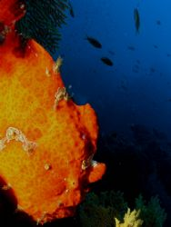 Frogfish... doing nothing. Olympus C-8080WZ / Ikelite DS-125 by Peter Baerentzen 